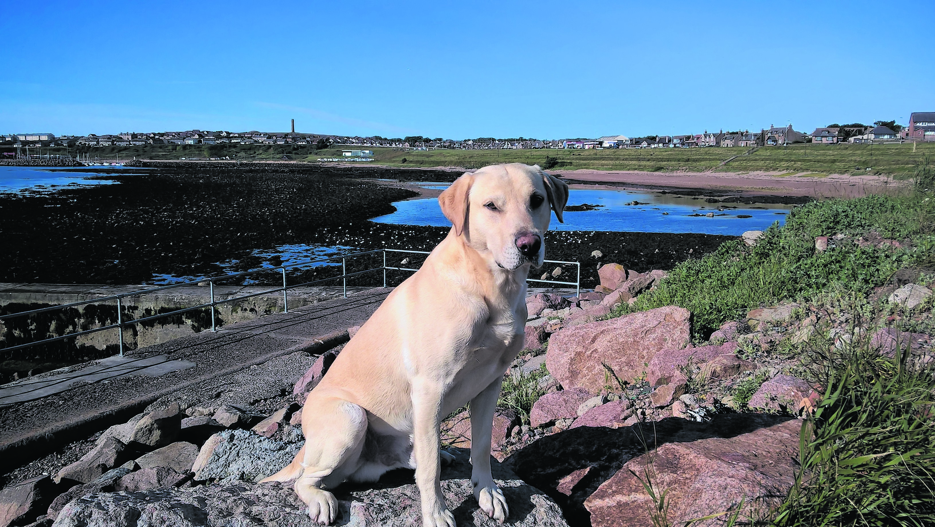 This is Hunter the yellow Labrador retriever having a walk on a beautiful day around the bay in Peterhead. He lives with the Bruce family in Peterhead.