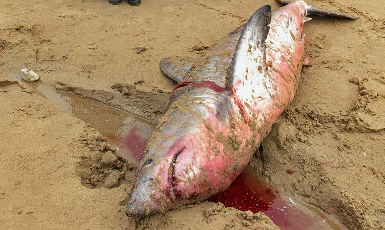 The Porbeagle Shark washed up on Cullen Bay