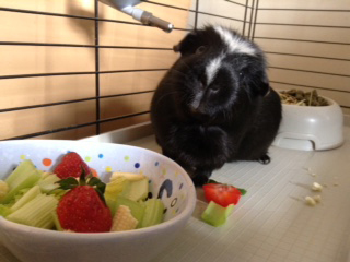 This is Simon the guinea pig who lives with Lauren Fowlie in Stonehaven.