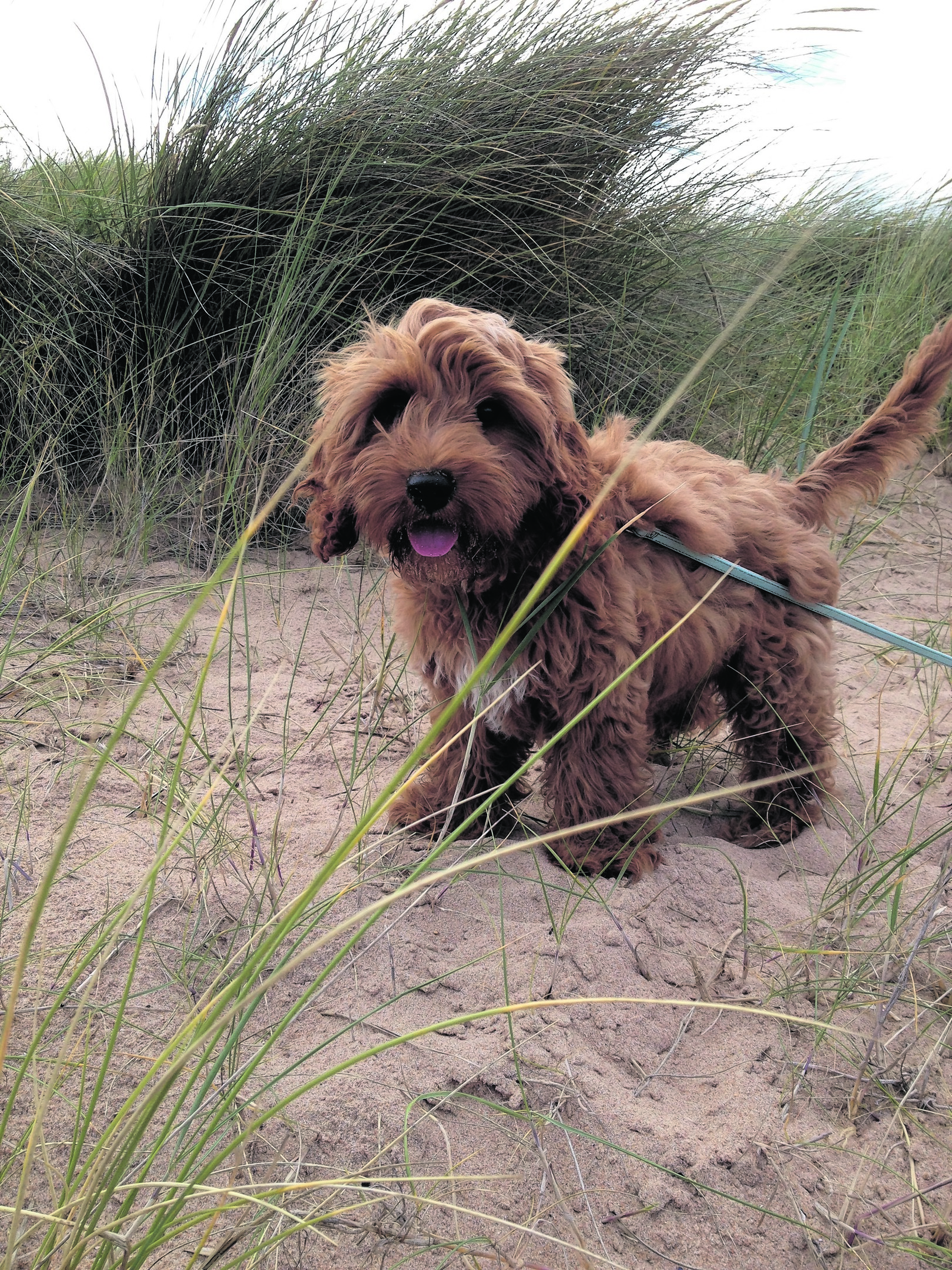 Here is Ellie May, theprecious cockapoo puppy enjoying the beach. She lives with the Robertson family near Peterhead and is a joy.