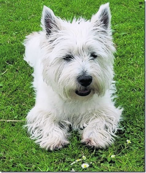 Blanchie the Westie lives in Slatebarns, Roslin, Midlothian with Moyra Crawford.