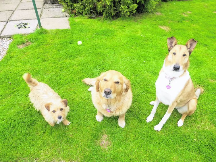 Cora the Golden Retreiver, Tala the Smooth Collie and Maya who is a Romanian rescue