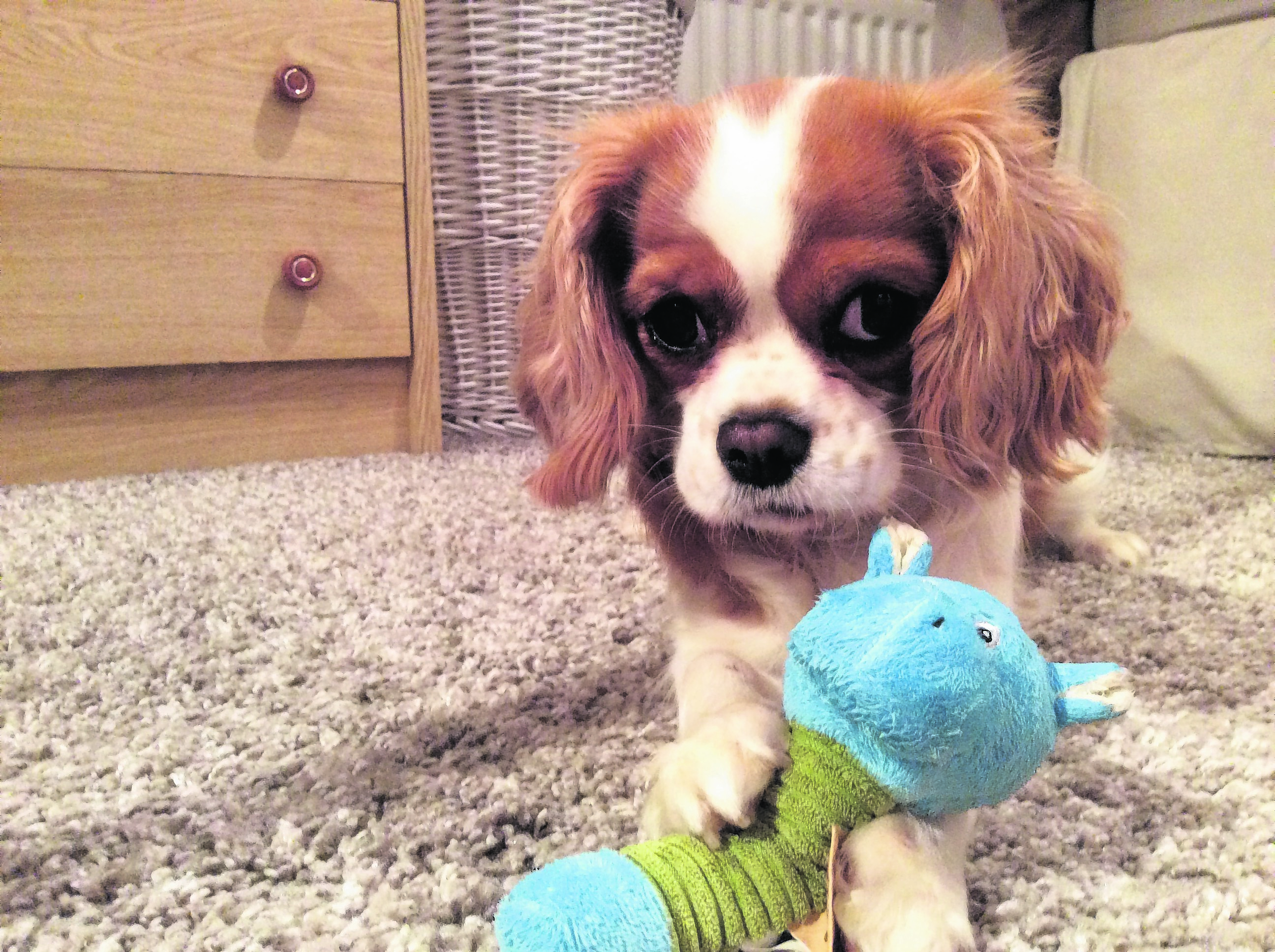 This is Bella, the cavalier King Charles spaniel. She lives with Karen in Cove