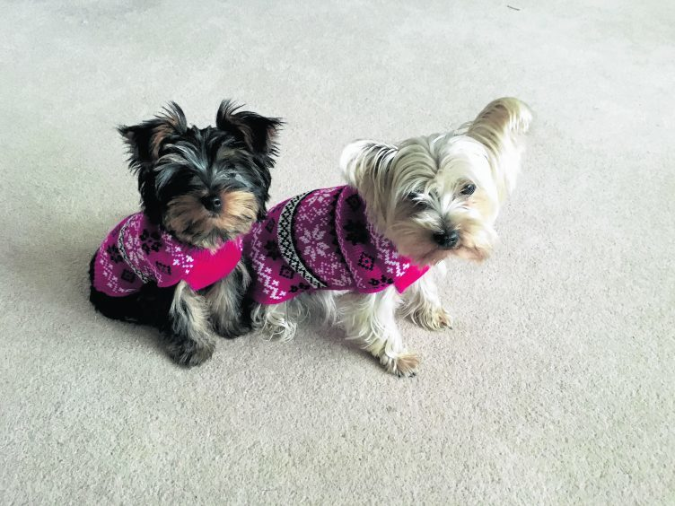 Daisy and her puppy son Barney with their Christmas jumpers on. They live with the Taylor family in Alford.