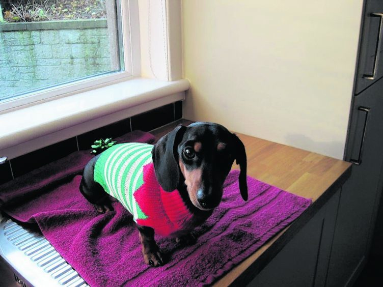 This is Denzel the mini Dachshund from Aberdeen all wrapped up for Christmas.