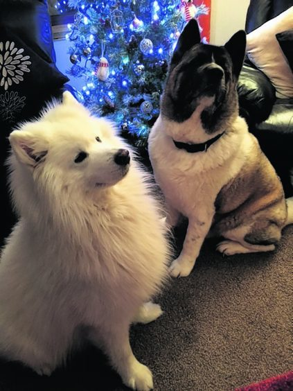 Laska the nine-year-old Samoyed and Broxie the five-year-old American Akita both live in Helmsdale with Cathy Mac.