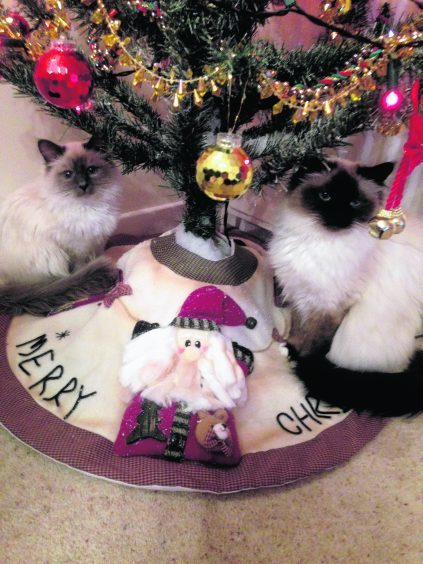 Birmans Ozzy and Inca owned live Nikki and Hammy in Bishopmill, Elgin.