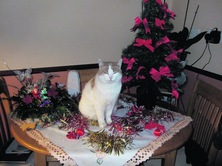 Here's Snowy with the Christmas decorations. Snowy lives in Portsoy with Peter and Frances Smith.