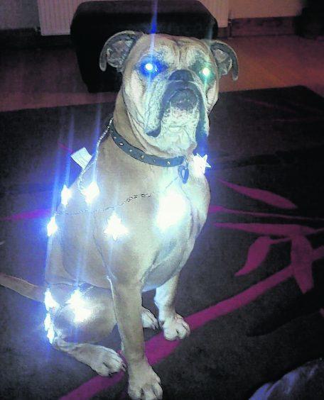 Chilli the boxer, practising for Christmas.