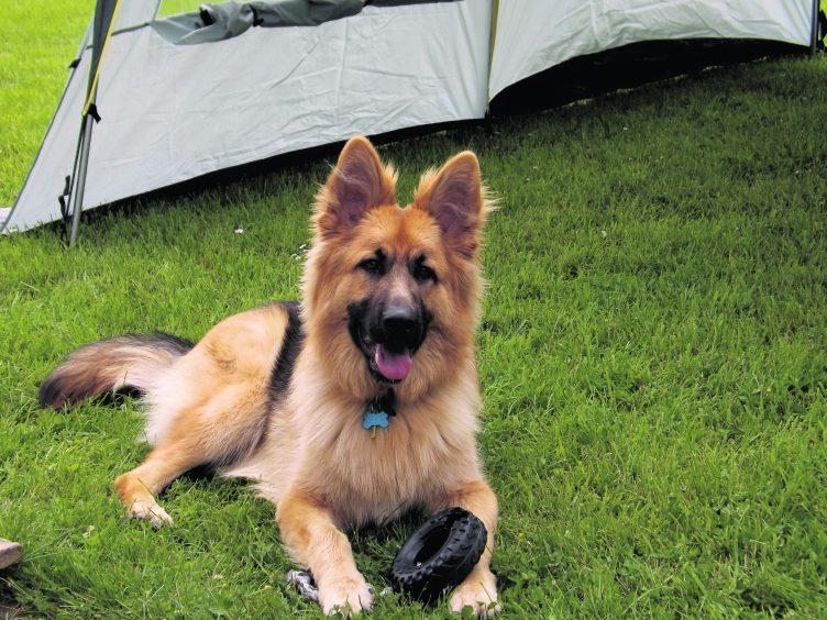 Glen is a German Shepherd. He lives with Jim Falconer, Scouthal, Bridge Street, Halkirk, Caithness.