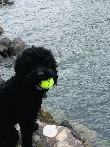 This is Harvey, a cockapoo, enjoying his holiday on the Isle of Skye.