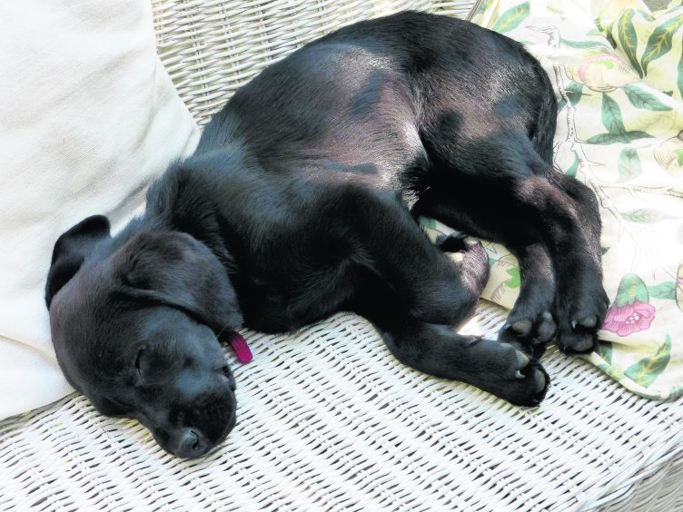 This is black labrador puppy Islay who lives with the Campbell family in Garmouth.