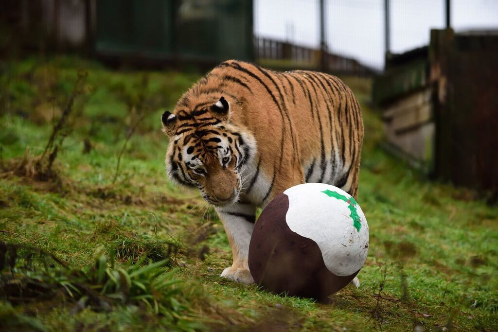 One of the park's tigers eyes up a Christmas pudding
