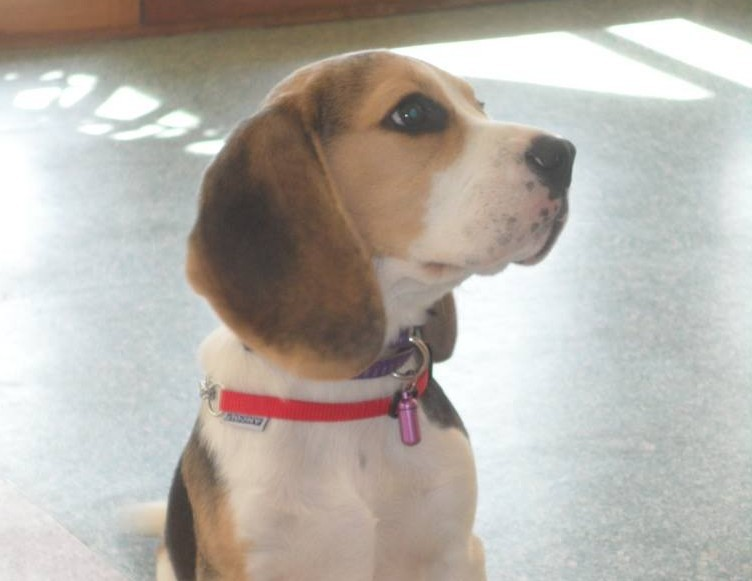 Aramis the 10-month-old Beagle