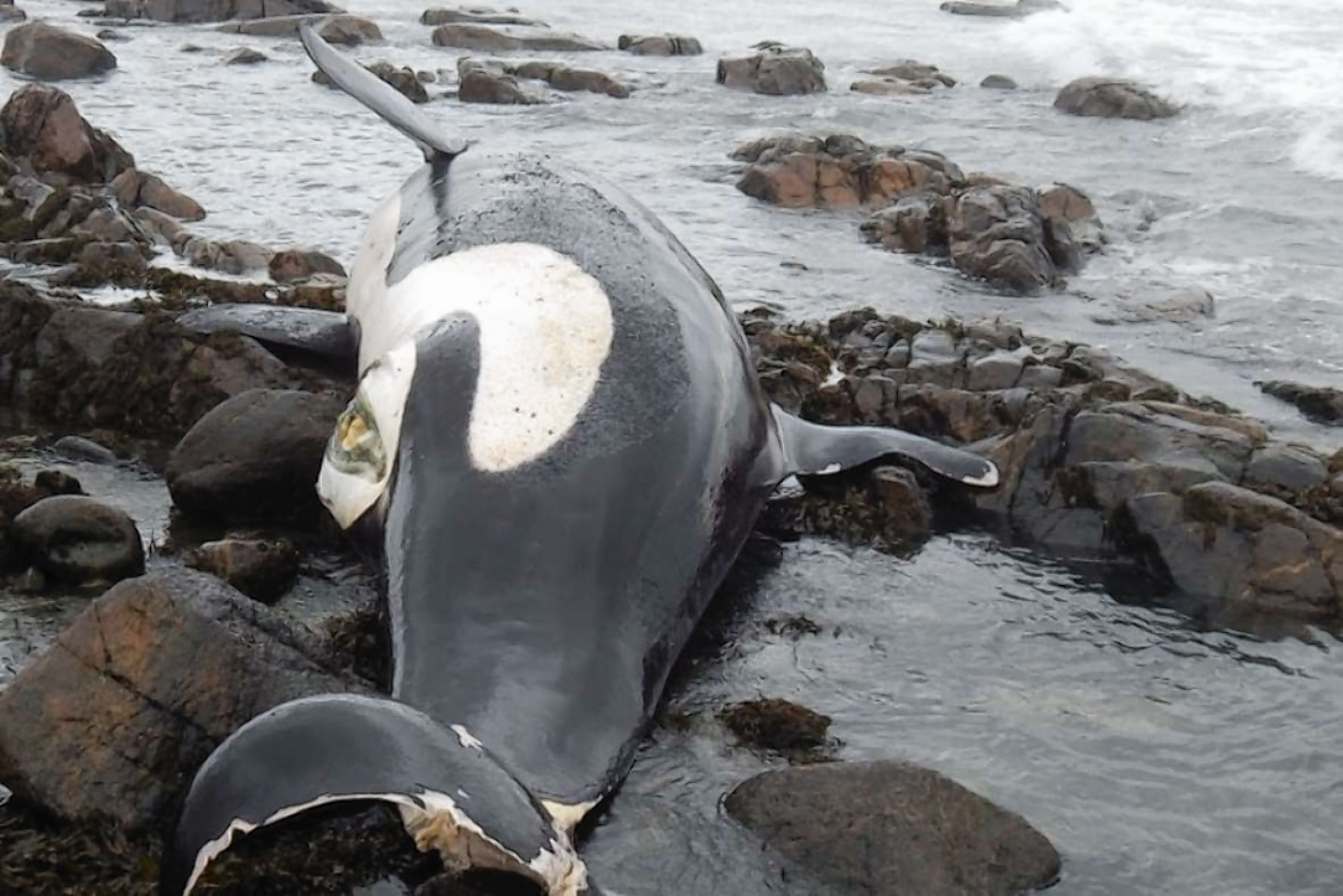 The body of the female orca, named Lulu, that was washed ashore on Tiree