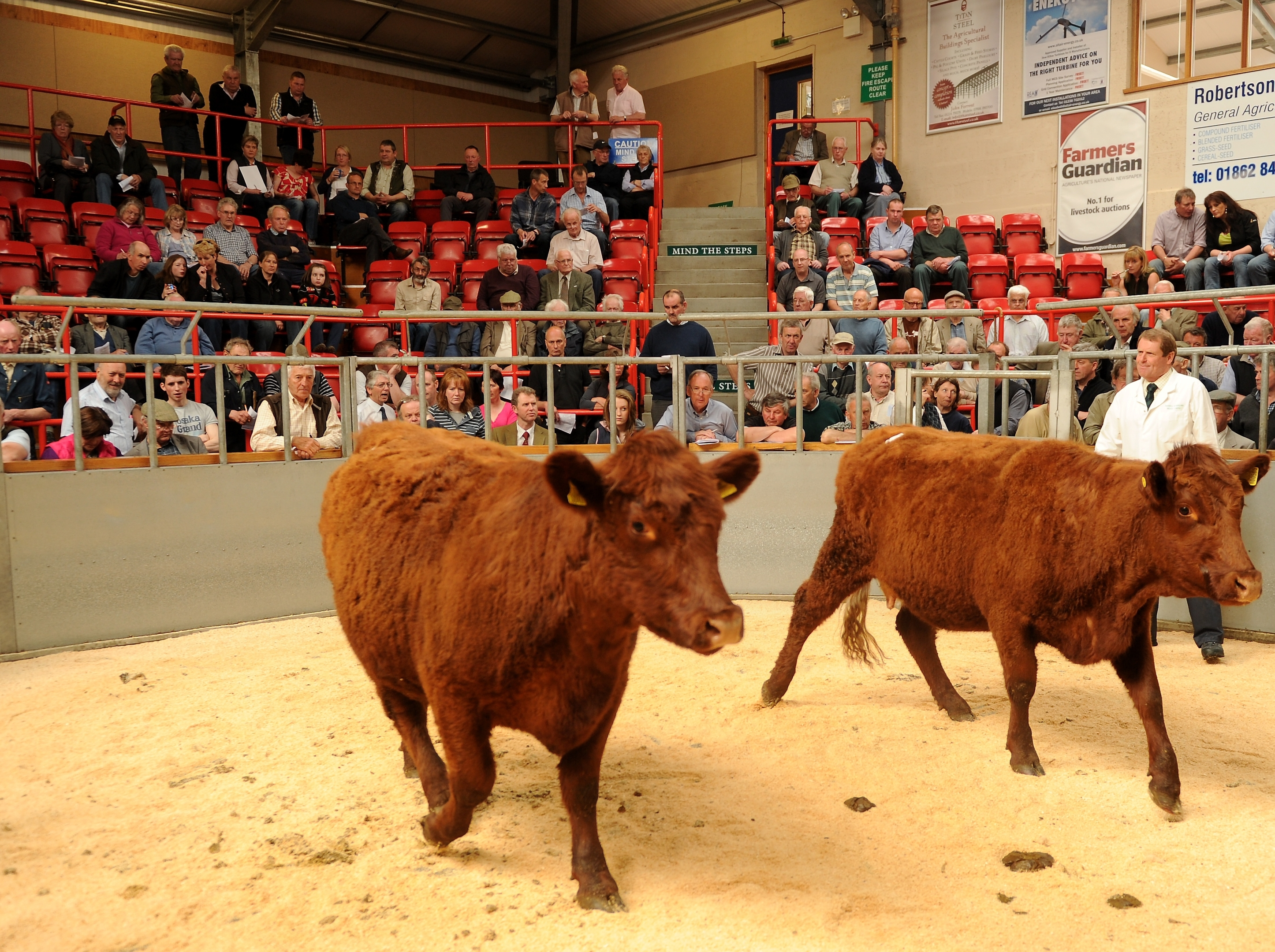 Luing Cattle at the mart in Dingwall.