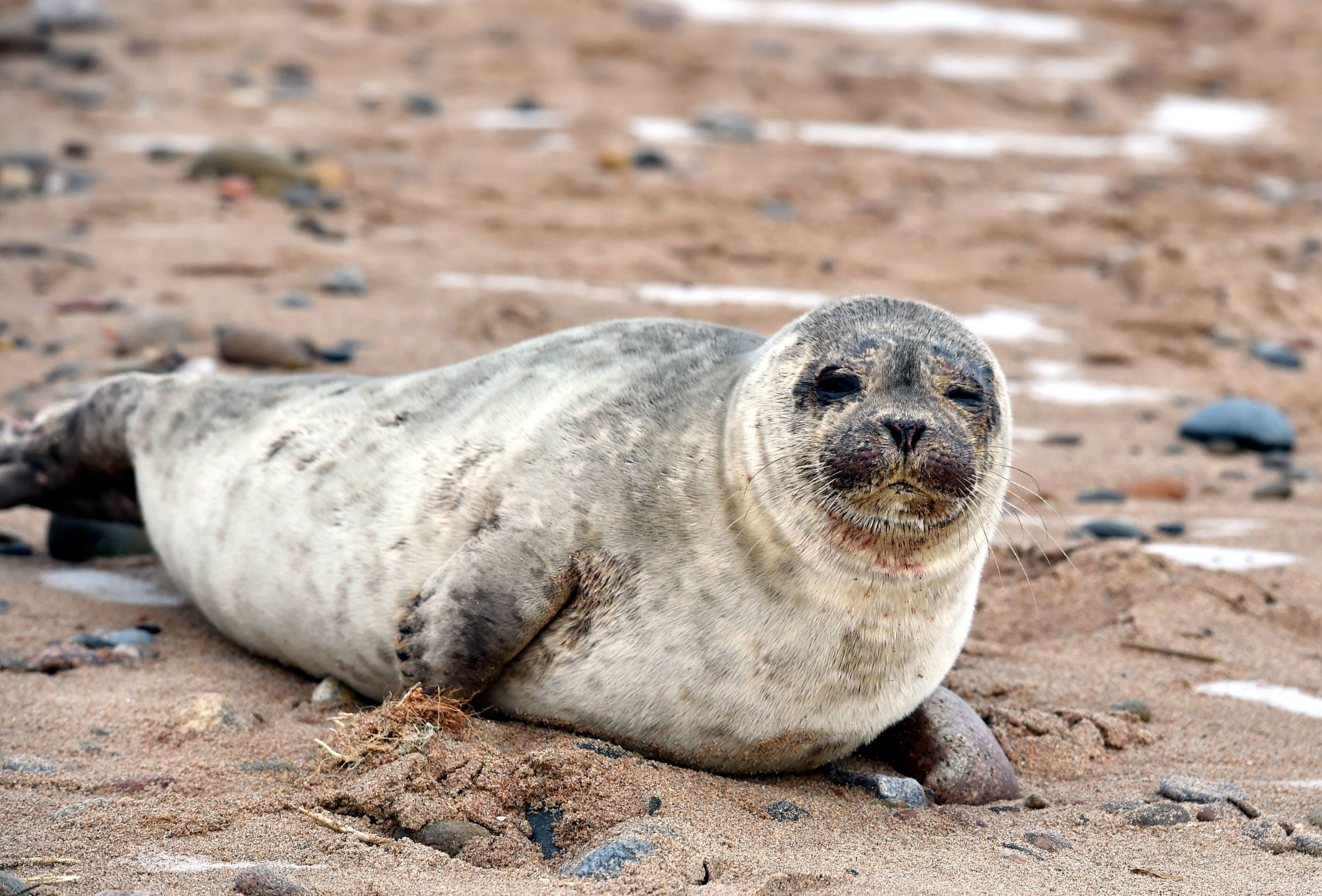 A seal pup at Aberdeen beach front