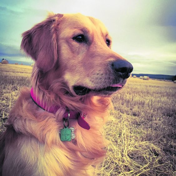 This is Denver, the 18-month-old golden retriever who stays with Emma and Kevin near Turriff.