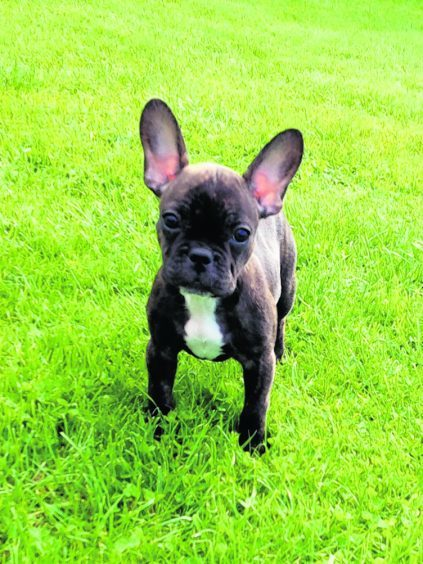 This is LaCie the french bulldog pup out for walks in Auldearn with June Milne.