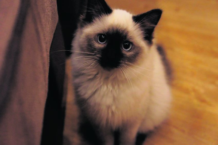 Bridget the five-month-old Ragdoll who lives with her brother Darcy, and her parents Jason and Colene Woolcott in Aberdeen