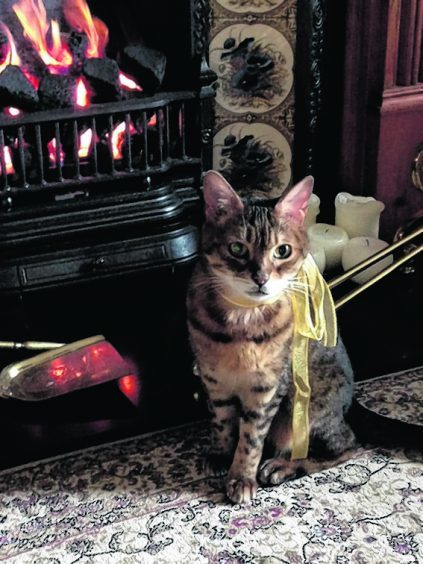 This is Tiggy, the 14-year-old Bengal on Christmas morning. She lives with the Lypka family in Aberdeen.