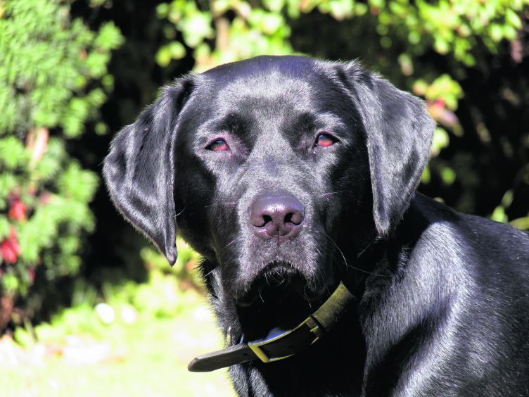 This is Tim, a three-year old Labrador. He lives with Colin, Laura and Morven Patterson in Kingswells.