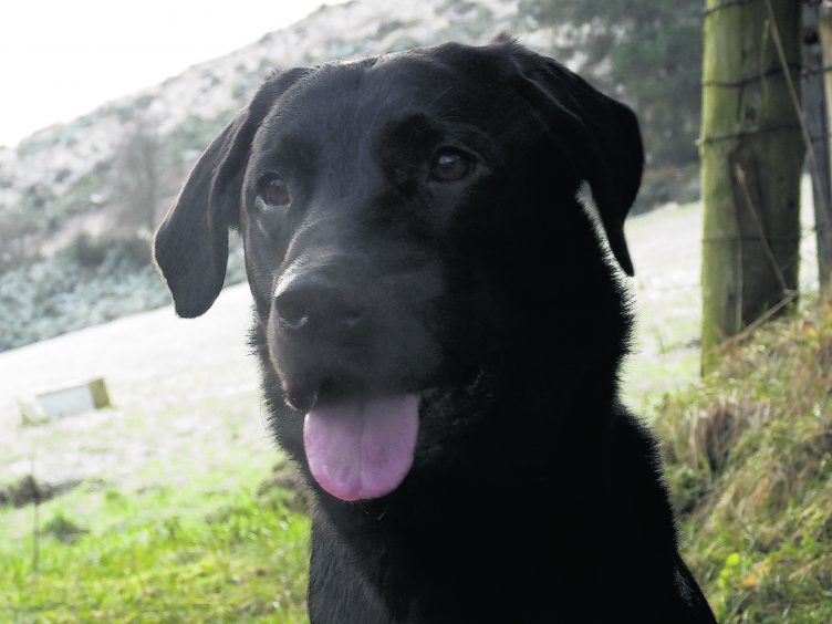 Geordie the black Labrador lives with the Bradley family in Gartly.