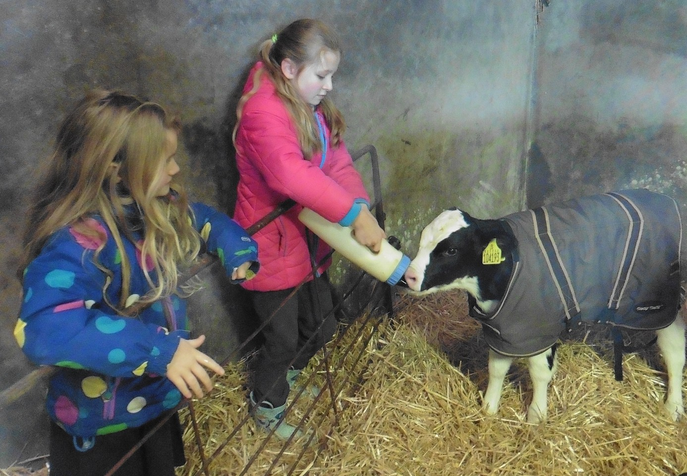 Pupils help feed a calf during a RNCI visit to a farm.