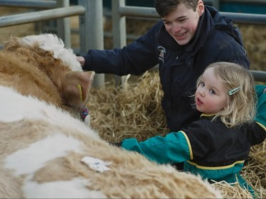 Anna Mcdonald, 4, makes friends with a Simmental