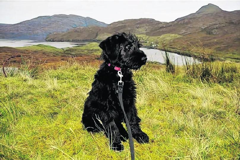 Roxy the giant Schnauzer puppy on the Isle of Harris.