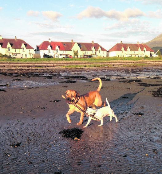 Here are Alfie the English Mastiff and Saffy the Staffy sharing a stick down the shore.
