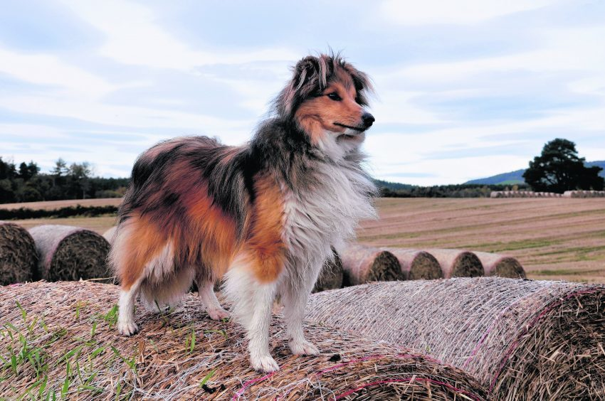 This is Rollo Ross enjoying a hike to the Hill of Fare, Banchory while Mr and Mrs Ross are on honeymoon in Indonesia. Rollo is our winner this week