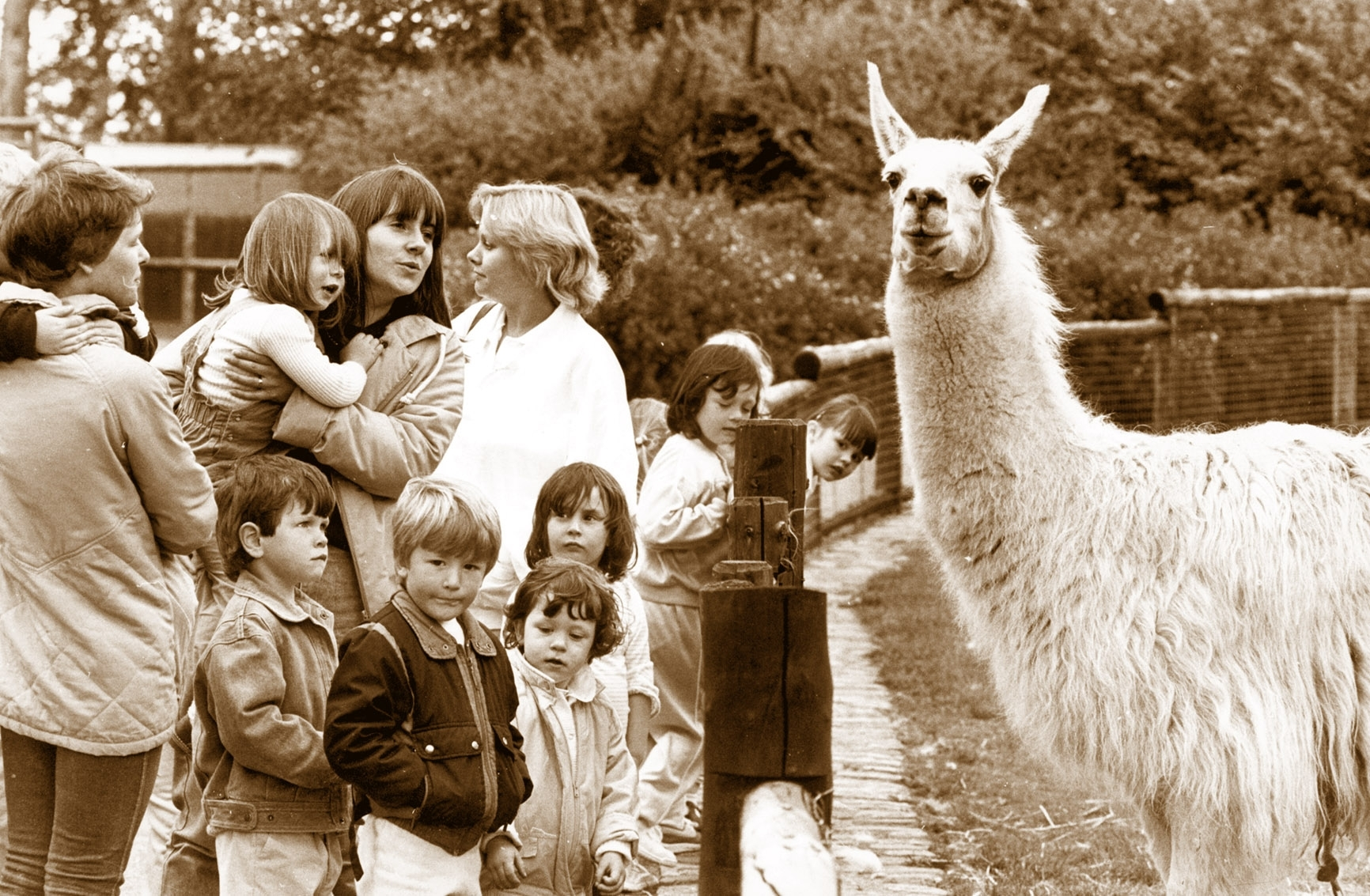 The llama at Aberdeen Zoo, Hazlehead Park, poses for our photographer and seems to ignore its visitors from Newtonhill Playgroup on an outing in June, 1987.