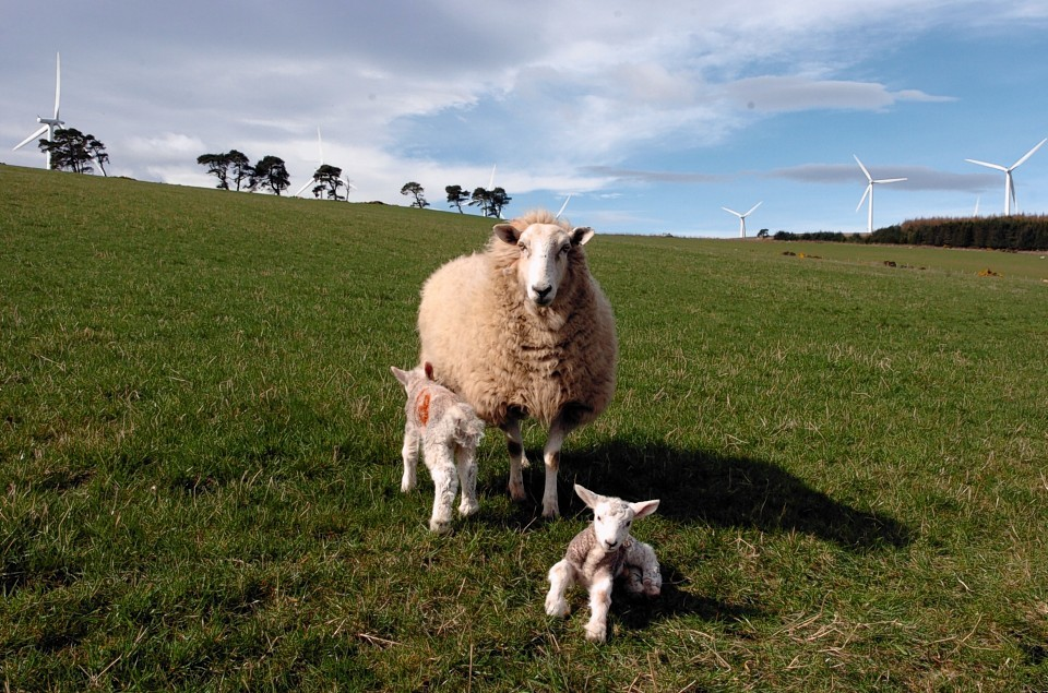 People should be discouraged from walking through fields with ewes and lambs.