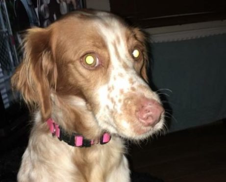 Molly the missing spaniel