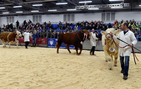 Bull judging