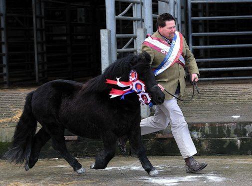 Harry Sleigh with his champion Shetland stallion