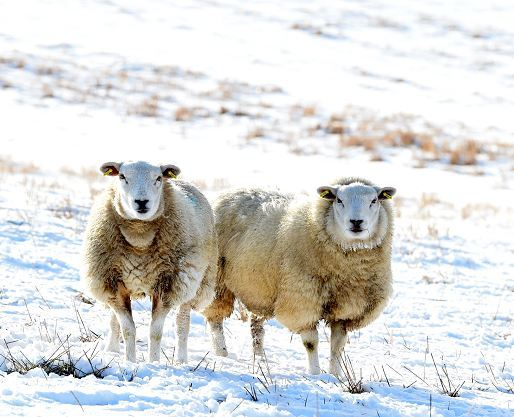 A pair of sheep enjoy the snow near Insch. (Picture: Jim Irvine)