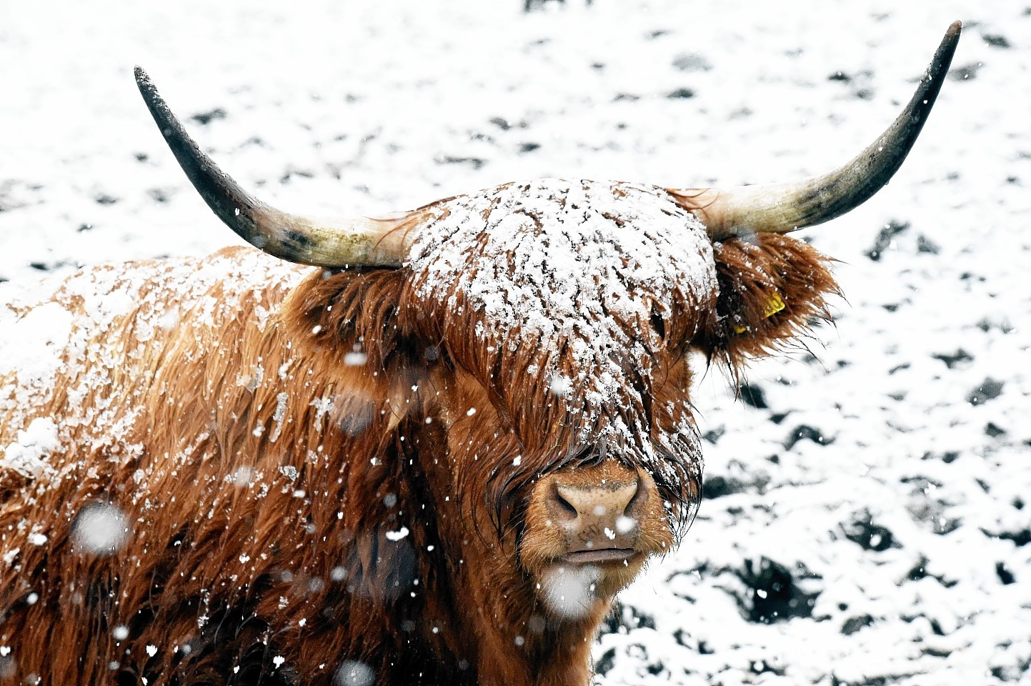 Highland cattle at Maryculter. Picture by Colin Rennie