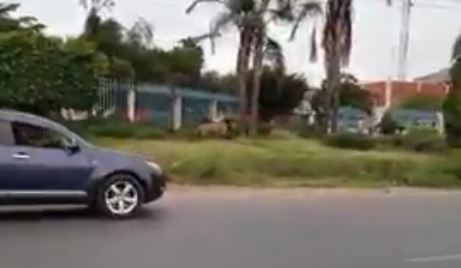 The lion was running alongside a busy road