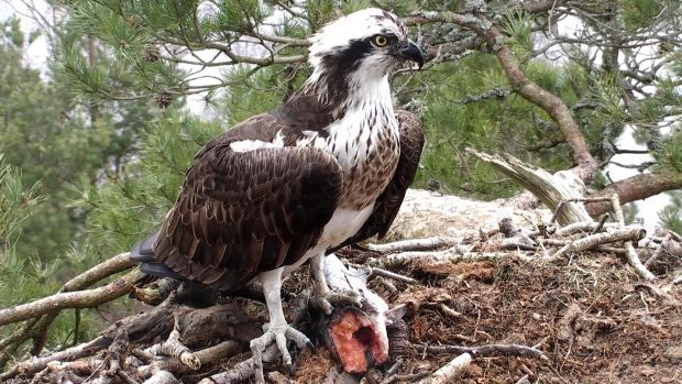 A female osprey with a fish caught for lunch