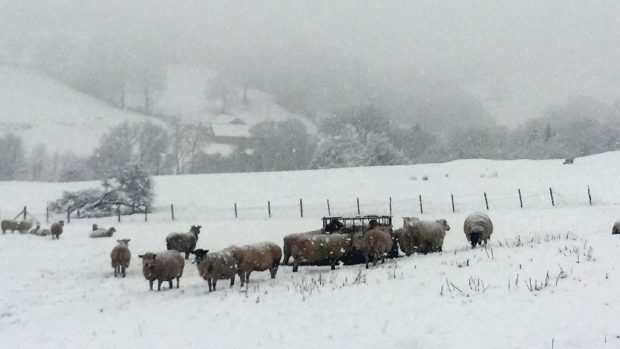 Sheep shiver in a snowy field