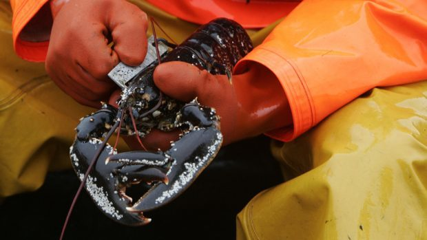 Concerns have been raised about undersized lobster being landed across the north-east