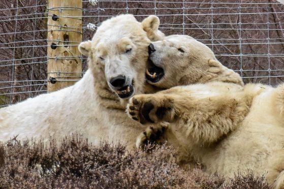 Polar Bears Arktos and Victoria in their enclosure at the Highland Wildlife Park