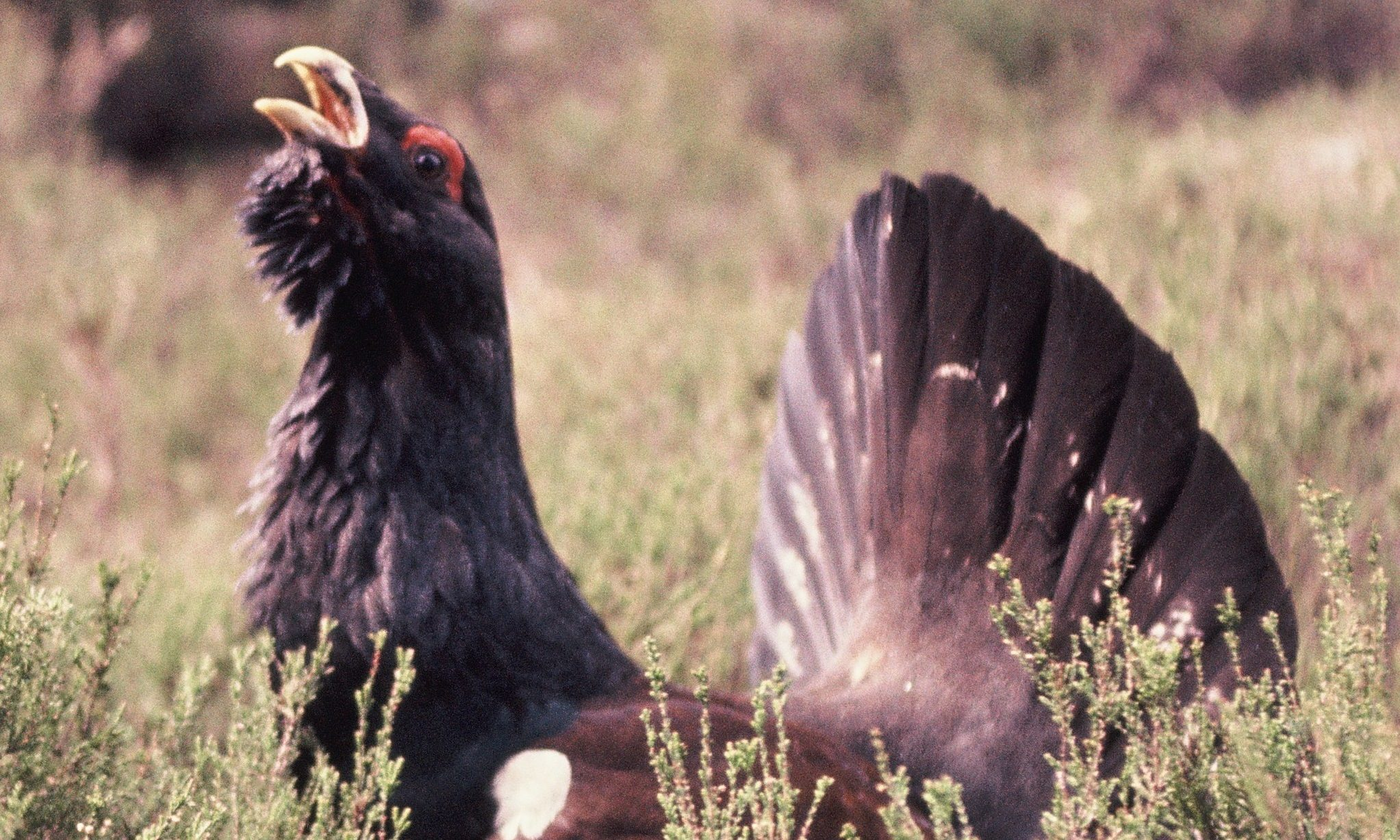 Carrbridge is leading the way in capercaillie conservation
