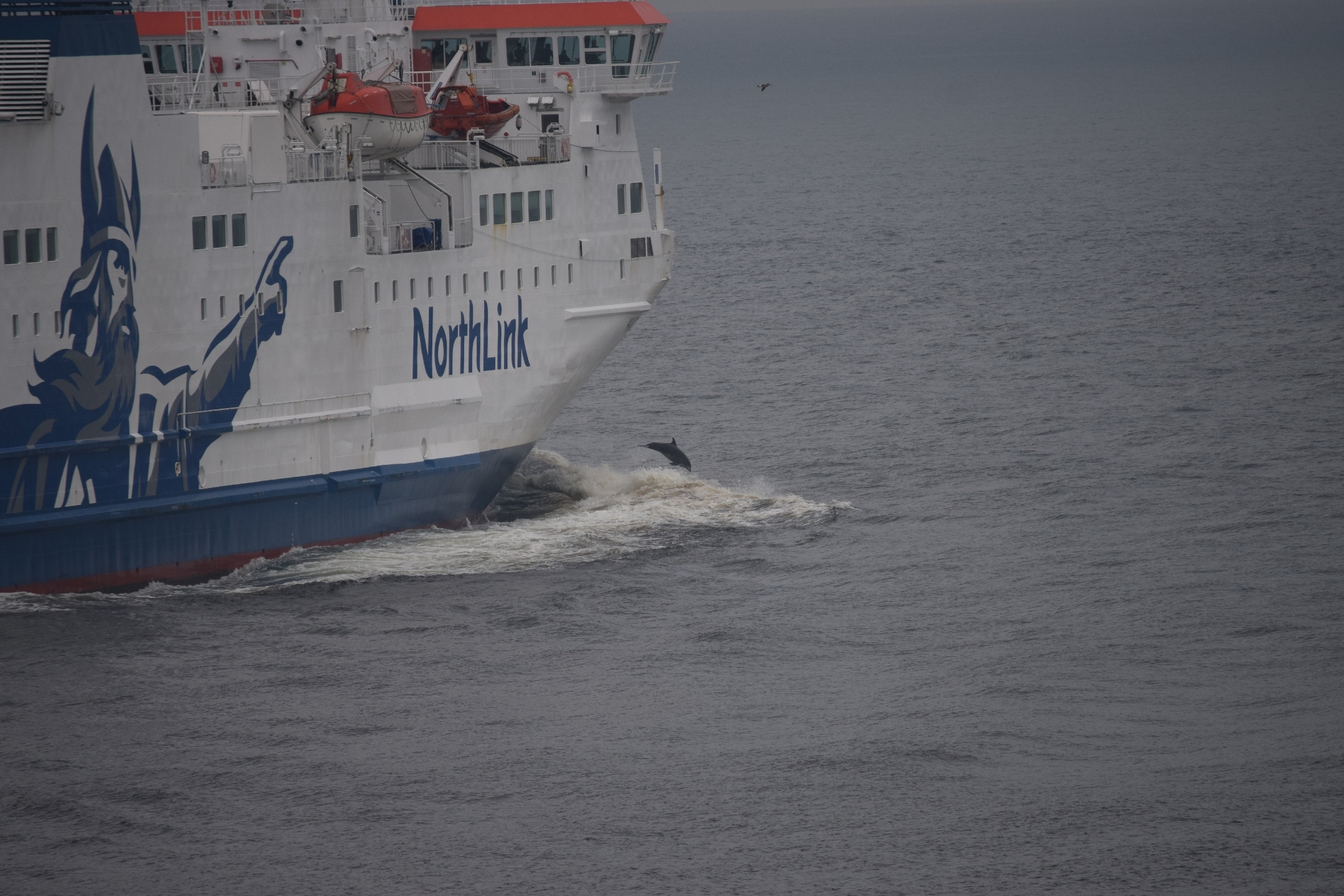 Dolphin bow-riding on a ferry