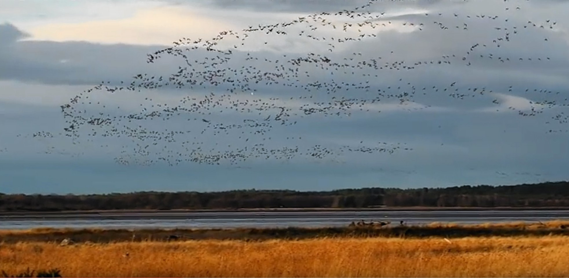 Geese at Findhorn Bay