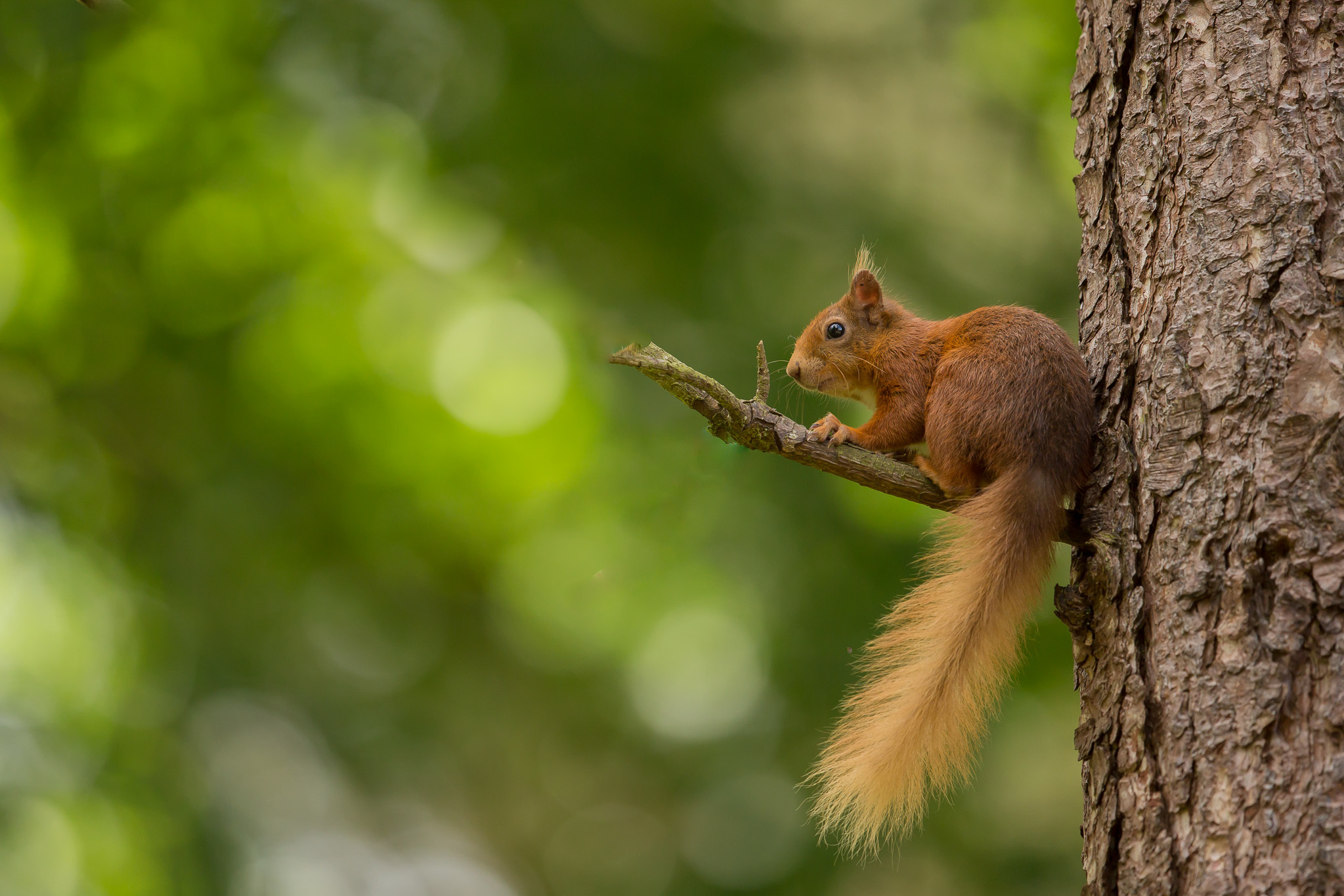 Red squirrel. Credit - Raymond Leinster