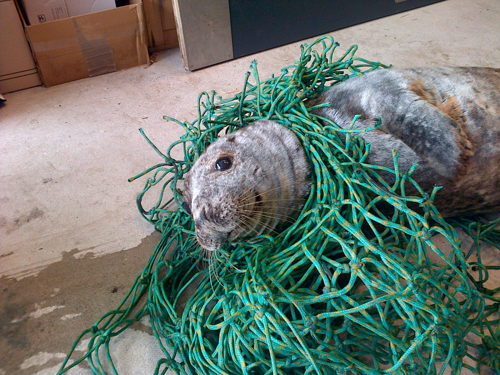 The seal was tangled in netting
