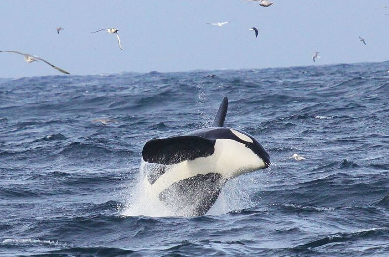 An orca breaches the water at Yell Sound, Shetland (Picture: John Irvine/ Sea Watch Foundation)
